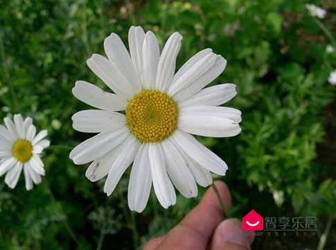 1这朵小白花,就是灭蚊的功臣——除虫菊